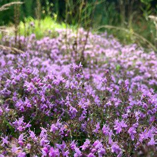 To nie Prowansja ale Podlasie, takie cuda mamy tu pod lasem. Kto zgadnie co to za roślina tak fioletem łąki zdobi?